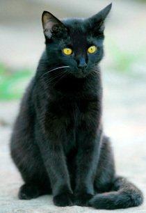 Gato preto. Foto: LUIS MORAIS
