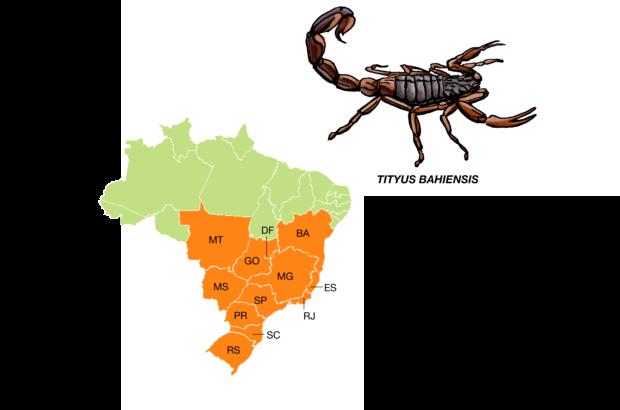 Conhecido como escorpião marrom ou preto, tem o tronco escuro, as pernas com manchas escuras e a cauda marrom-avermelhada. O adulto mede cerca de 7 centímetros. É a espécie que causa mais acidentes no estado de São Paulo.