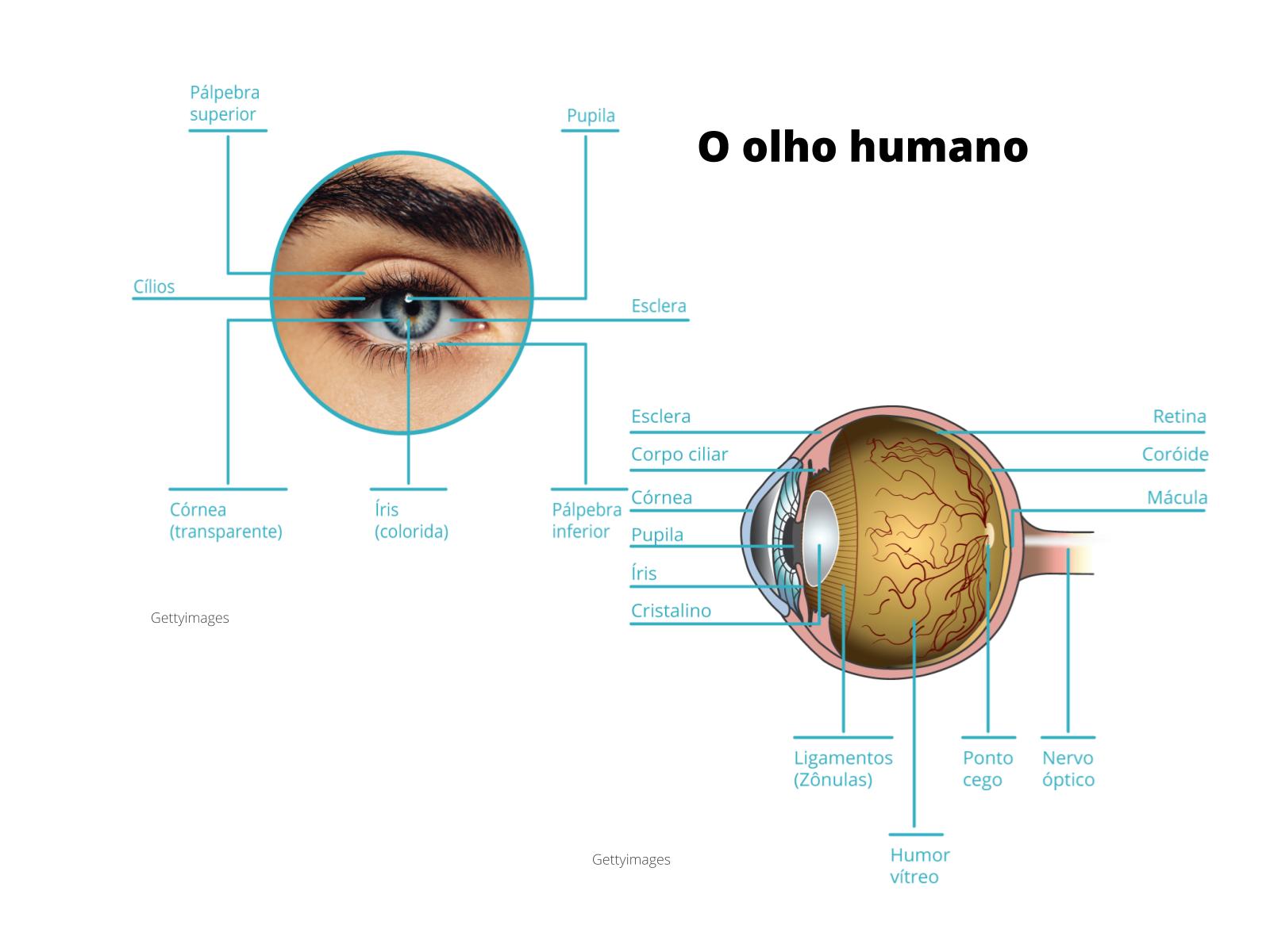A estrutura do olho humano