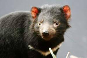 Encontrado apenas na ilha da Tasmânia, na Austrália, o Demônio da Tasmânia passou do status de
