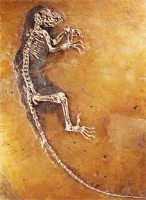 Cientistas puderam estudar até o conteúdo estomacal do fóssil. Foto: AFP
