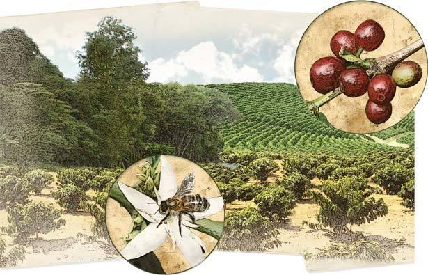 As abelhas e a produção de café . Maná E.D.I./Anna Luiza Aragão