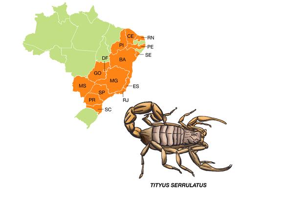 É a espécie que mais causa acidentes graves no país. Com até 7 centímetros de comprimento, possui o tronco escuro e as pernas e a cauda amarelo-claras. Por isso é conhecido como escorpião amarelo. As fêmeas se reproduzem por partenogênese, o que facilita bastante a dispersão da espécie.
