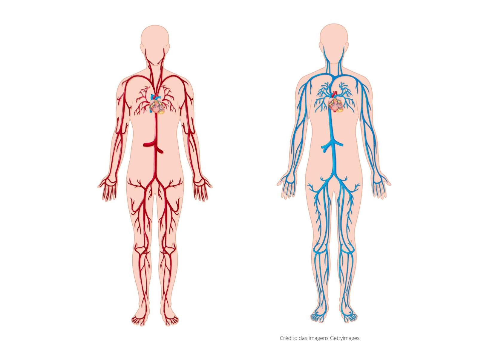 Os vasos sanguíneos: rede de tubos interligados que conduzem nutrientes