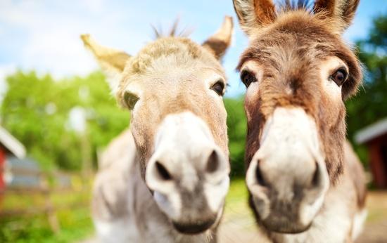 Dois burros ao ar livre com a cara bem próxima à câmera olham diretamente para a câmera