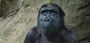 imagem de um gorila com um leve sorriso na cara e olhando de lado para cima