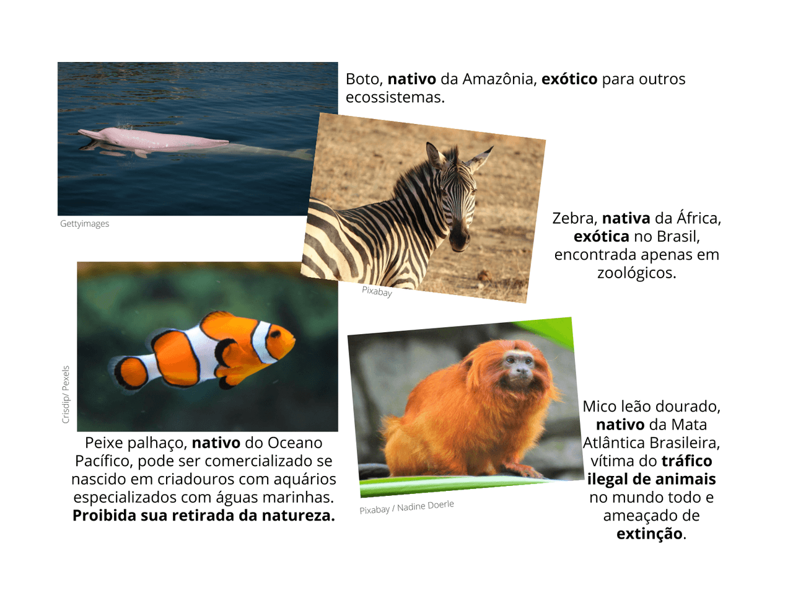 Animais brasileiros: A importância de Preservar
