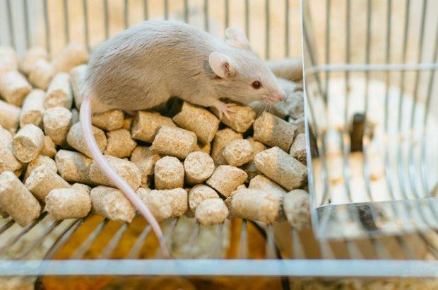 Masanori Niimi:por haver demonstrado que ratos submetidos a transplante cardíaco vivem mais tempo quando escutam determinadas músicas. Enquanto os ratos mantidos em silêncio sobrevivem, em média, sete dias, aqueles que ouviram a ópera La Traviata viveram 27 dias. Os que foram obrigados a ouvir a cantora irlandesa Enya sobreviveram 11 dias. CRÉDITO: Shutterstock