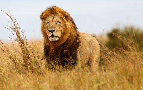 Leão na Savanah