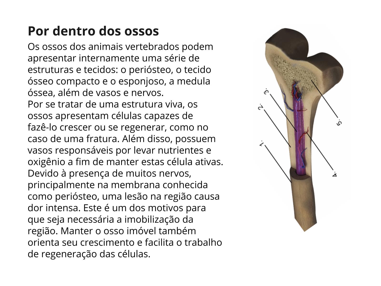 Por dentro do sistema ósseo