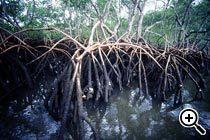 Manguezal do Parque Nacional de Superagui. Foto Jader da Rocha