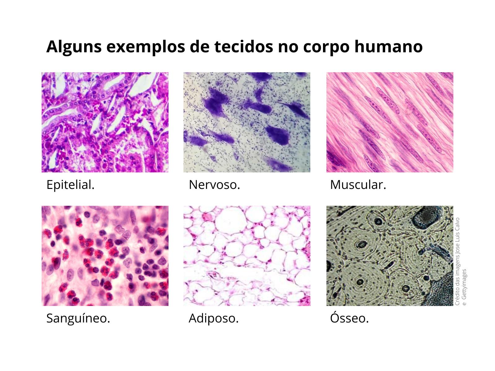 Tecidos: células trabalhando em equipe