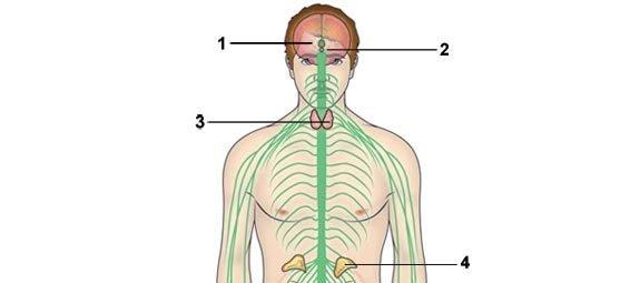 O corpo na puberdade. Ilustração: Luciano Veronezi