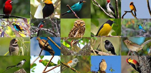 Aves do brasil. Imagem: produção NOVA ESCOLA