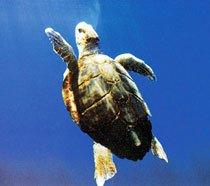 Tartaruga preservada no Projeto Tamar. Foto: Divulgação