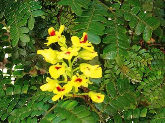 Flores da árvore Pau-Brasil.Foto: divulgação