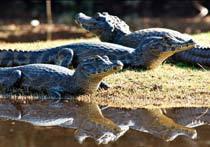 Jacarés na beira do rio que passa pela Fazenda Barra Mansa, na Serra da Bodoquena, Pantanal. Foto: Ichiro Guerra/ Agência: Fund. Tur. Mato Grosso do Sul/Divulgação